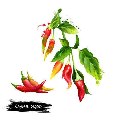 Cayenne pepper, Guinea spice, cow-horn pepper, red hot chili pepper, aleva, bird pepper, red pepper, is a cultivar of Capsicum annuum related to bell peppers, paprika. Herbs collection. Digital art. Imagens - 83336351