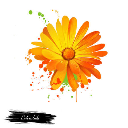 Calendula illustration. Daisy family Asteraceae. Marigolds. Genus name Calendula is diminutive of calendae. Calendula officinalis. Popular herbal and cosmetic products. Herbs and spices. Digital art.