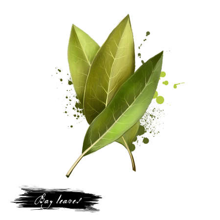 Bay leaves isolated on white background. Dry bay leaf. Dried laurel bay leaves in bundle. Herbs spices. Healthy food natural organic plant. Series of ingredients for cooking. Digital art. Фото со стока