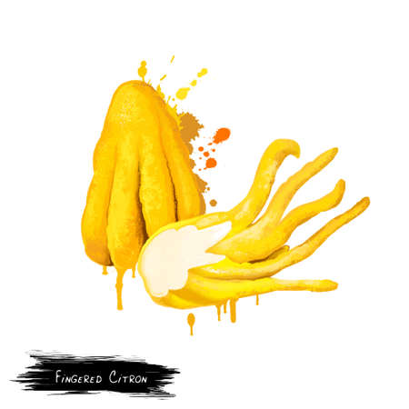 segmented: Fingered citron isolated on white. Buddhas hand, Citrus medica var. sarcodactylis, or the fingered citron. Fruit segmented into finger-like sections, resembling a human hand. Digital art illustration