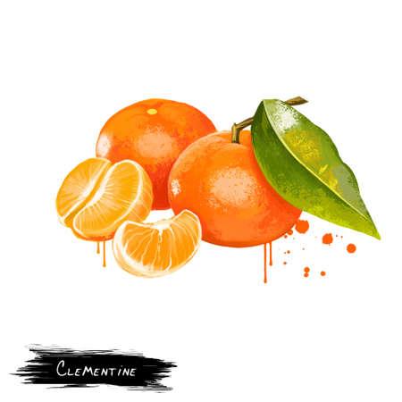 Clémentine isolée sur blanc. Clementine Citrus clementina est un hybride entre un Citrus deliciosa de la Méditerranée et une orange douce. Mandarine orange juteuse. Collection de fruits. Art numérique