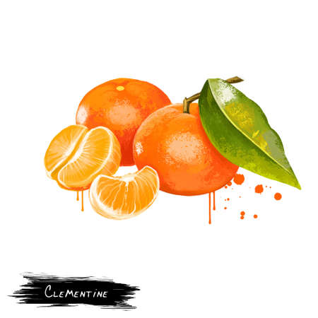 Clementine isolated on white. Clementine Citrus clementina is a hybrid between a Mediterranean Citrus deliciosa and sweet orange. Orange juicy tangerine. Fruits collection. Digital art