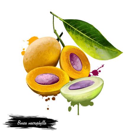 Bouea macrophylla isolated on white. Marian Plum, Plum Mango Bouea macrophylla Griffith. Ma prang, mayongchid, plum mango, marian mango. Fruits of the world collection. Digital art illustration