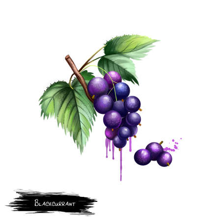Blackcurrant isolated on white. Blackcurrant Ribes nigrum is a woody shrub in family Grossulariaceae grown for piquant berries. Used for culinary purposes. Fruits collection. Digital art Zdjęcie Seryjne