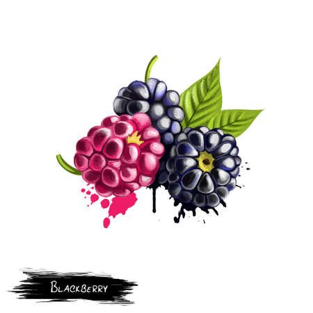 Blackberries isolated on white background. Blackberry is an edible fruit produced by many species in the Rubus genus in the Rosaceae family. Used for culinary purposes. Fruits collection. Digital art Stok Fotoğraf
