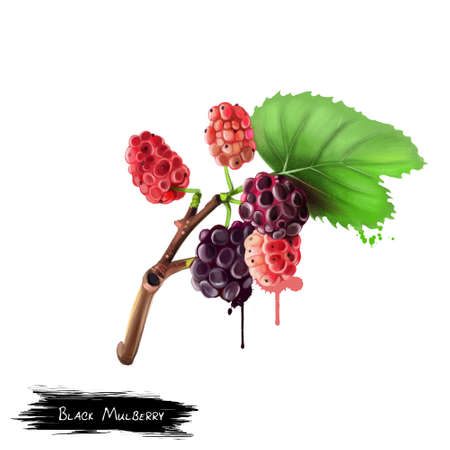 Black mulberry and leaves isolated on white background. Morus nigra, called black mulberry or blackberry. White mulberry. Green mulberry. Used for culinary purposes. Fruits collection. Digital art