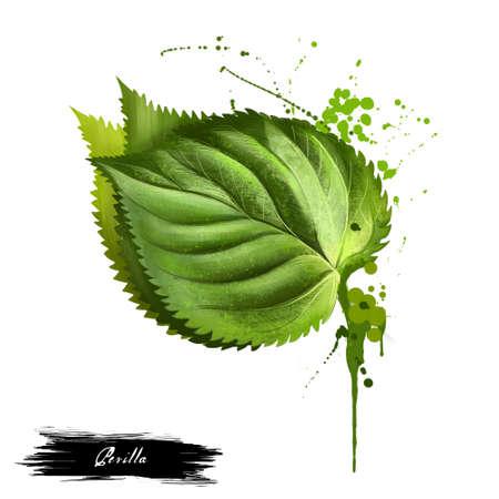 Het kruidtak van Perilla met bladeren die op wit worden geïsoleerd. Pittige kruiden. Doodle koken ingrediënt voor ontwerp. Kruiden. Waterverf. Perilla is een kruid van de mintfamilie, Lamiaceae. Frutescens. Digitale kunst. Stockfoto