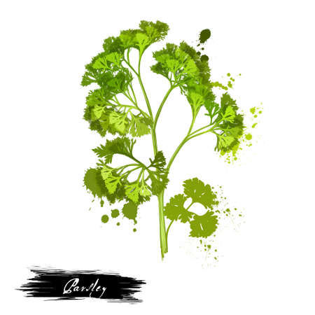 Parsley isolated on white background. Anethum graveolens. Annual herb in the celery family Apiaceae. Healthy food natural organic plant. Evergreen herb with culinary and medicinal uses. Digital art.
