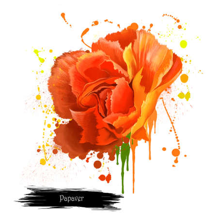 Red poppy papaver orientale isolated on white. Intense brilliant red of the Flanders Poppy. Papaver rhoeas. Corn poppy, corn rose, field poppy, red weed, coquelicot. Digital art illustration