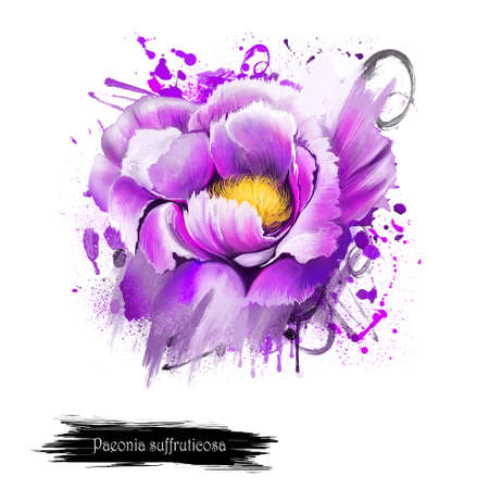Violet Peony flower. Paeonia suffruticosa isolated on white background. Important symbol of Chinese culture. Moutan or Chinese tree peony. Species of peony native to China. Digital art illustration