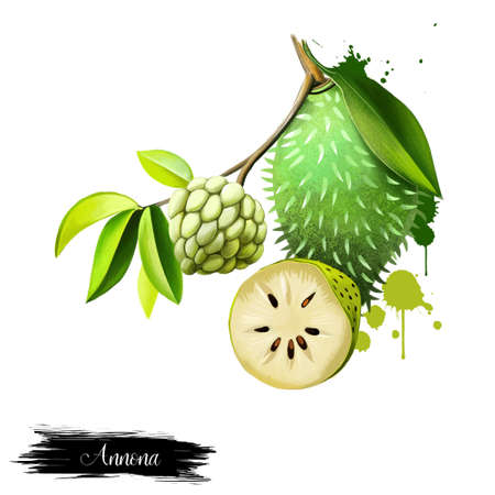 Custard apple fruit, Annona squamosa. Annona species are taprooted, evergreen or semideciduous, tropical trees or shrubs. Guanabana, Graviola and Soursop. Fruits of the world collection. Digital art Stock Photo