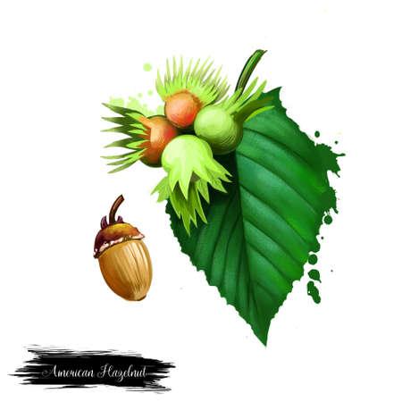 ドングリとハシバミ アメリカーナ、アメリカ ヘーゼル ナッツ育つ形で低木落葉性の植物の種であります。白い背景に分離されたフォレスト ナッツ  写真素材