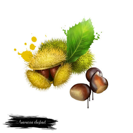 American Chestnuts with leaves and spiny burrs. Chestnuts are edible raw or roasted. Considered the finest chestnut tree in the world. Fruits of the world collection. Digital art 版權商用圖片