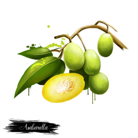 Spondias dulcis known commonly as ambarella. Equatorial or tropical tree, with fruit containing a fibrous pit. Kedondong, buah long long, pomme cythere, june plum, juplon, golden apple, golden plum,