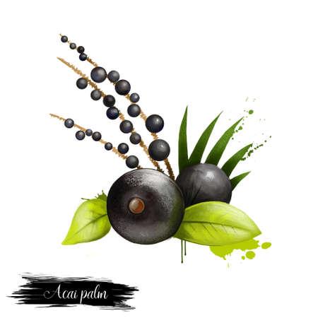 Acaipalm met geïsoleerde bladeren. Acai amazon kleine ronde bessen. Gecultiveerd voor fruit en harten van palm. Verkocht als bevroren vruchtensap ingrediënt in dranken graan alcohol smoothies voedsel cosmetica