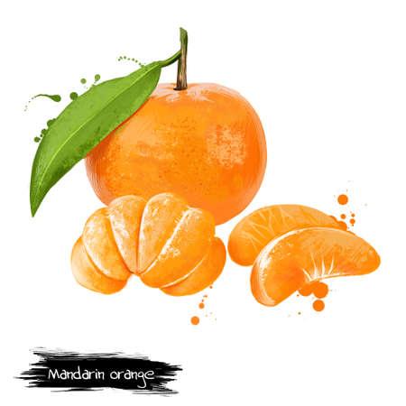 Mandarin, tangerine citrus fruit isolated on white. Mandarin orange Citrus reticulata, small citrus tree with fruit resembling other oranges. Fruits of world collection. Digital art illustration