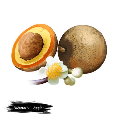 Mammee apple isolated. Mammea americana, mamey, mamey apple, Santo Domingo apricot, tropical apricot, South American apricot. Flowers and half. Fruits of world collection. Digital art illustration