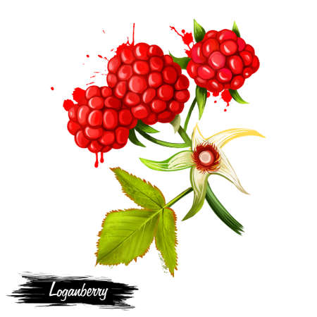 Loganberries on white background. Loganberry Rubus loganobaccus hexaploid hybrid produced from pollination of plant of octaploid blackberry cultivar Rubus ursinus by diploid red raspberry Rubus idaeus