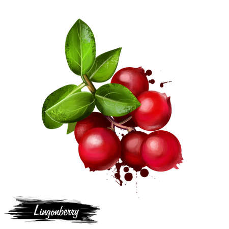 Lingonberry foxberry, cowberry, cranberry isolated on white. Wild northern berries. Vaccinium vitis-idaea , partridgeberry short evergreen shrub. Bears edible fruit, boreal forest and Arctic tundra