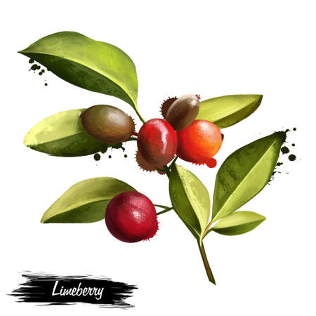 trifolia: Triphasia trifolia isolated on white. Limeberry, lime berry, or limoncitong kastila is a species of Triphasia in Rutaceae. Evergreen shrub. Fruits of the world collection. Digital art illustration