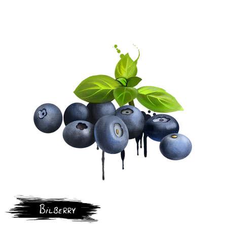 ビルベリー果実葉白で隔離。コケモモは、低成長食用, ほぼ黒い漿果を実らせる低木。ブルーベリー。料理の目的に使用されます。フルーツ コレク