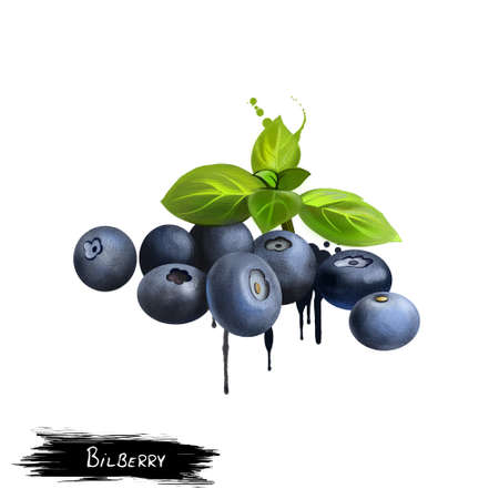 Bilberry berries with leaves isolated on white. Bilberries are low-growing shrubs bearing edible, nearly black berries. Blueberries. Used for culinary purposes. Fruits collection. Digital art