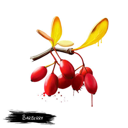 Barberry or Berberis isolated. Large genus of deciduous and evergreen shrubs. European or American barberry, Berberis vulgaris. Edible berries, rich in vitamin C, with sharp acid flavour. Digital art