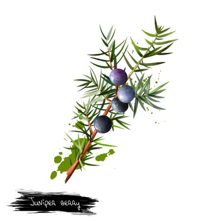 Branch of juniper with detail of foliage, berries and seeds. It is not true berry but a cone with unusually fleshy and merged scales. Medical plant. Herbs and spices collection. Digital art. Stok Fotoğraf