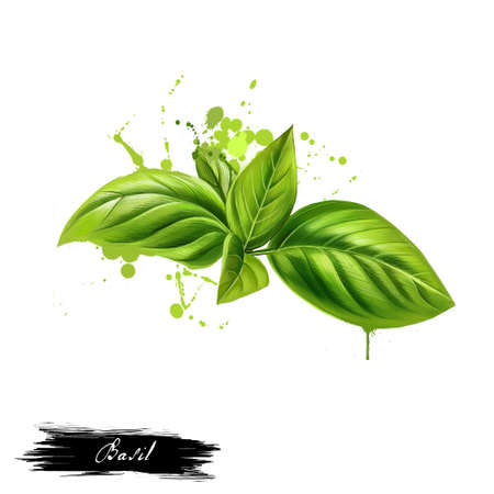 Basil leaves graphic illustration. Basil or Ocimum basilicum, also called great basil or Saint-Josephs-wort. Culinary herb of the family Lamiaceae mints. King of herbs. Royal herb. Digital art.