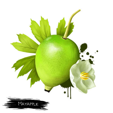 Mayapple flower and fruit isolated. Mayapple or podophyllum is herbaceous perennial plant. Used in medicine as as an emetic, cathartic, antihelmintic agent. Digital art illustration. Plant and fruit Stock Photo