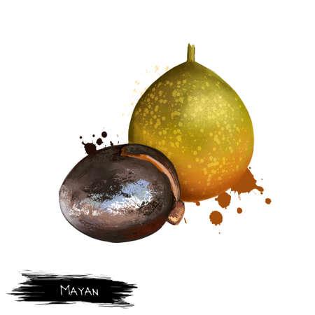 分離したマヤ。ラモンの木またはマヤ ナット。イチジクと桑の実。ラモン、ojoche、ojite、ojushte、ujushte、ujuxte、キャポモ、モジョ、牛、iximche masica uje
