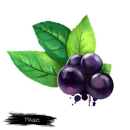 Maqui is op wit geïsoleerd. Aristotelia chilensis Maqui of Chileense wijnbessen. Maqui bessen en bladeren. Digitale kunst illustratie. Stock afbeelding. Evergreen plant. Vruchten van de wereldcollectie Stockfoto - 83344802