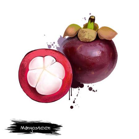 Mangosteen en dwarsdoorsnede die dikke purpere huid en wit vlees van koningin van friut tonen. Mangosteen. paarse mangosteen Garcinia mangostana. Fruits of world collection. Digitale kunstillustratie