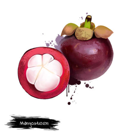 Mangosteen and cross section showing thick purple skin and white flesh of queen of friut. Mangosteen. purple mangosteen Garcinia mangostana. Fruits of world collection. Digital art illustration