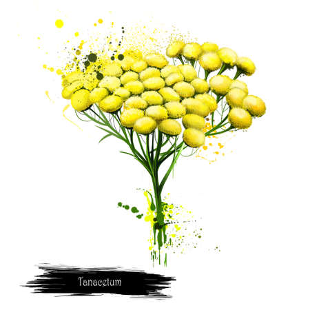 Tansy tanacetum vulgare bitter buttons with brush splashes. Cow bitter, or golden buttons. Hand drawn botanical illustration Wallpaper design. Greeting card. Postcard. Digital art image Stock Photo