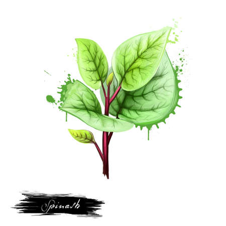 Bunch of fresh spinach. Green raw spinach leaves isolated on white. For agriculture, vegetables, cooking, health food, gastronomy, floriculture, etc. Herb and spices series. Digital art illustration