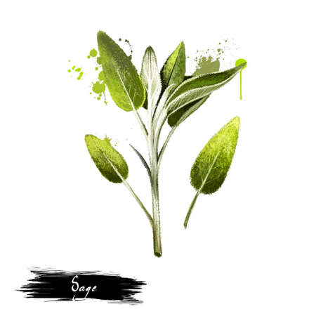 Sage bunch hand drawn. Realistic sage leaves isolated on white. Herbal engraved style illustration. Detailed organic product sketch. Cooking spicy ingredient. Herbs and spices. Digital art. Stock Photo