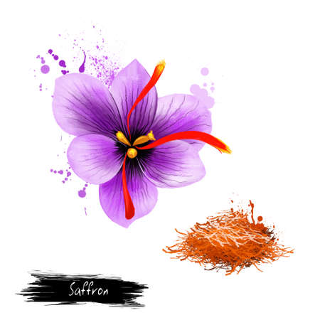 Flower crocus and dried saffron spice isolated on white background. Saffron crocus. Labels for Essential Oils and Natural Supplements. Styles and stigmata, called threads collected. Digital art image.