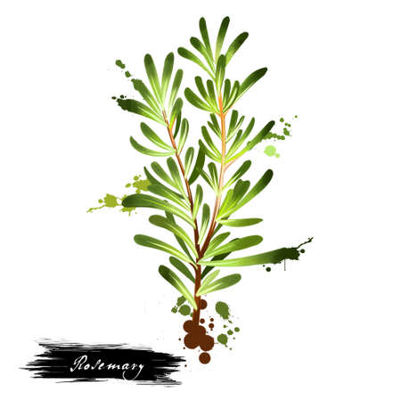 Watercolor rosemary branch and flowers. Rosmarinus officinalis. Woody, perennial herb with fragrant, evergreen, needle-like leaves and pink, purple, blue flowers. Member of the mint family Lamiaceae.