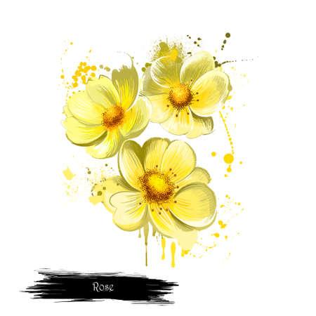 Rose jaune isolé sur blanc. Fond floral. Fonds d'écran romantiques. Conception de papier peint. Famille Rosaceae. Elegantsummer fleur. Plante à la mode. Conception de carte de voeux. Carte postale le 8 mars Banque d'images - 83314036