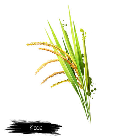 Growing seed on a white background. Rice is seed of the grass species Oryza sativa Asian rice or Oryza glaberrima African rice. Staple food. Cereal grain Herbs and spices collection. Digital art.