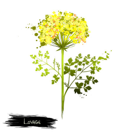 Lovage is erect, herbaceous, tall perennial plant Levisticum officinale. Medical plant. The stems and leaves are shiny glabrous green to yellow-green. Herbs and spices collection. Digital art. Banco de Imagens - 83314043
