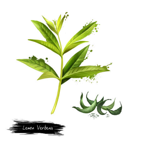 Lemon verbena fresh and dried. Lemon beebrush. Aloysia citrodora is a species of flowering plant in verbena family. Labels for Essential Oils and Natural Supplements. Digital art image. Stock Photo