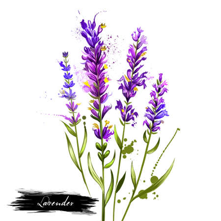 Lavender isolated. Lavandula or lavender. Flowering plant in the mint family, Lamiaceae. Lavandula angustifolia. Herbs spices. Healthy food natural organic plant. Cosmetic ingredient. Digital art. Stock Photo