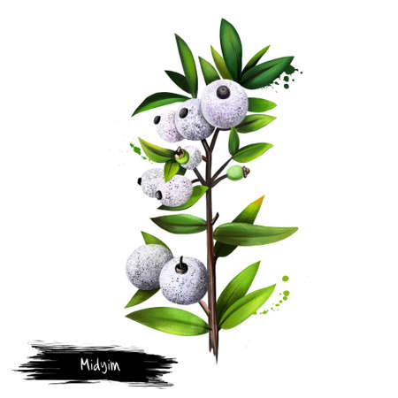 Midyim isolated on white background. Digital art. Midgen Berry, Midyim, or Austromyrtus dulcis is a spreading heathland shrub native to eastern Australia. Fruits of the world collection