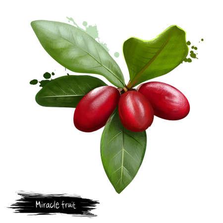 ミラクル フルーツは、白で隔離。デジタル アート。ミラクル フルーツ。酸味の食べ物ミラクリン。奇跡の果実、奇跡的なベリー、甘い果実、agbayun 写真素材