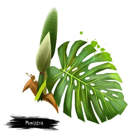 モンステラは、白い背景で隔離。デジタル アート。モンステラは、サトイモ科、みずばしょう開花植物です。巨大なまたは異常です。珍しい葉の自 写真素材