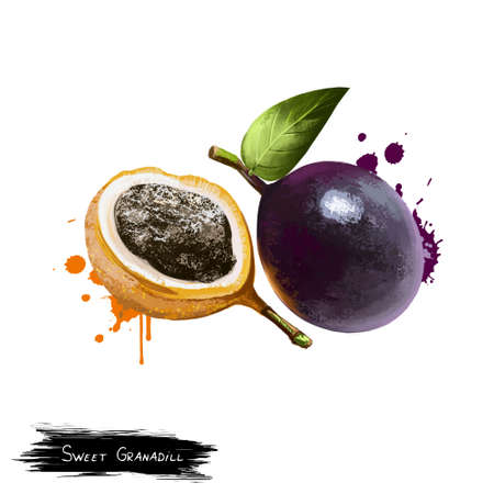 Passiflora ligularis or sweet granadilla or grenadia isolated on white. Plant ligulate corollae. Pulp is edible part of the fruit and has a soft sweet taste. Digital art illustration