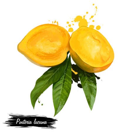 Egg fruit, Canistel, Yellow Sapote. Fruits of the world collection. Digital art illustration