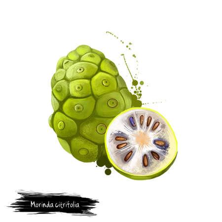 Morinda citrifolia는 커피 가족, Rubiaceae의 나무입니다. 스톡 콘텐츠